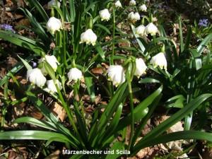 April Märzenbecher und Scilla